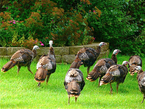 Suburban Turkeys 1