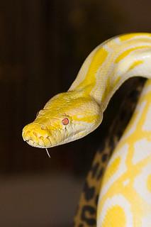 Albino Tigerpython, python molurus bivittatus