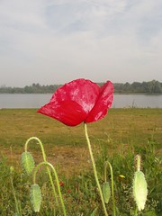 CORN POPPY (umaka09) Tags: flowers red landscape nostalgia poppy cornpoppy