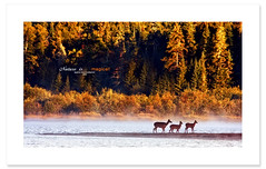 Magical Morning Walk (Imapix) Tags: autumn lake canada art fall nature animal automne canon photography photo bravo foto photographie quebec deer qubec monttremblant chevreuil imapix whitetaildeer gaetanbourque parcnationaldumonttremblant vosplusbellesphotos imapixphotography gatanbourquephotography