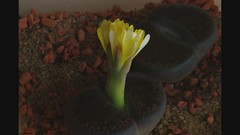 Lithops flower opening/closing - Time lapse HD video (yellowcloud) Tags: plant flower yellow stone timelapse video succulent high time pentax lithops steine mesembryanthemum definition bloom hd bud lapse 720p sukkulenten aizoaceae lebende mesembs k200d