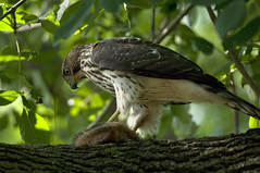 Cooper's Hawk with prey (violetflm) Tags: bird native hawk hunting d2x il montrose prey coopershawk preditor cf29138