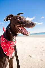 Smile (teenytinyturkey) Tags: dog greyhound boston puppy fun happy chelsea play adopt doggie revere tobin reverebeach resuce greyhoundwelfare