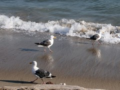 Walkies (LaVeta Jude) Tags: ocean california sea seagulls birds canon feathers avien lavetajude