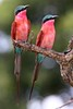 Carmine Bee-eater by Jacques de Villiers