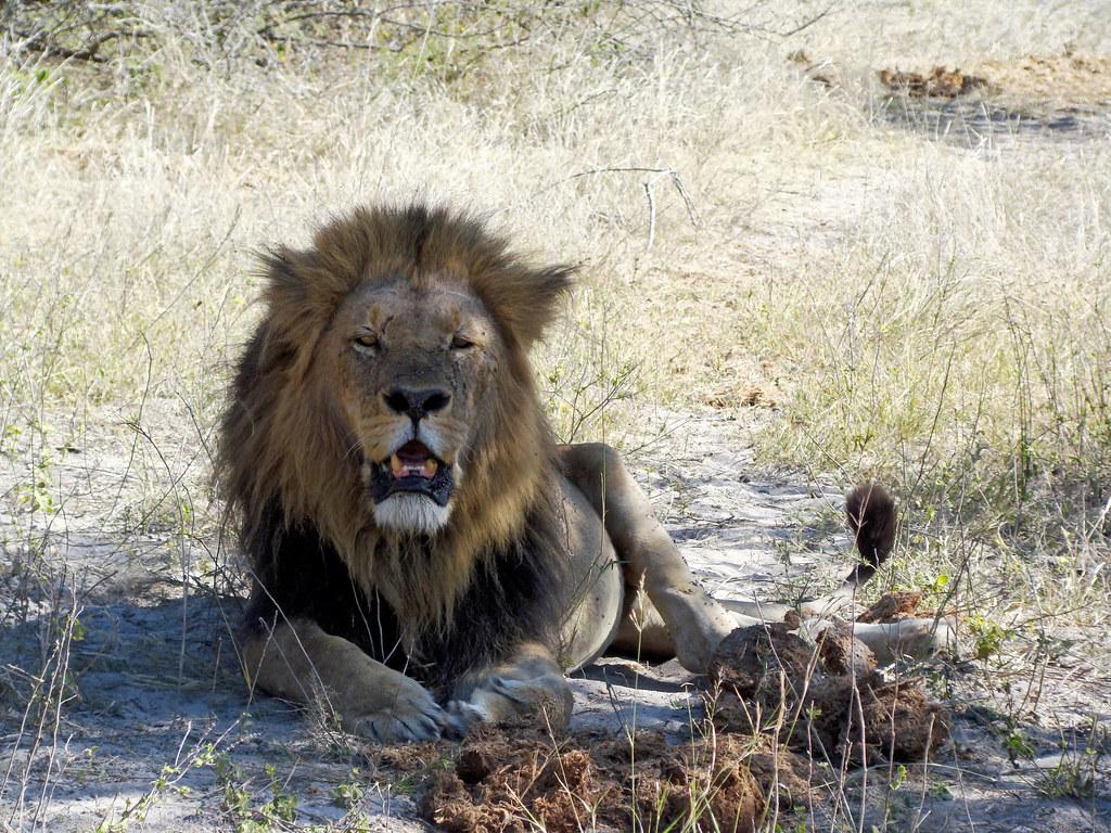 DSC08281 lion