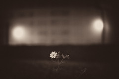 Somnambule (Gabriel Asper) Tags: flower fleur de alone commerce geneva nicolas genve bouvier cole seule seul genf collge