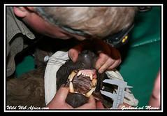 Measuring the hyaenas' K9's. (Wild Web Africa.com) Tags: southafrica wildlife research mammals pretoria hunters scavengers carnivores predators hyenas endangeredspecies africanwildlife hyaenas africanmammals rietvlei rietvleinaturereserve researchprojects nocturnalanimals wildwebafrica wimvorster brownhyaenas