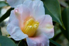 Camellia japonica (Jim Mayes) Tags: macro digital canon eos tripod 90mm manfrotto  460mg 190b tamronspaf90mmf28dimacro