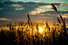 Watch the sun go down through the reed (Vincent van Es) Tags: sunset sun reed nature landscape dof cloudy oudemaas barendrecht sigma5015028 canon40d coloroft
