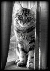 Monster in BW (FurBabyLuv *Finally back Online) Tags: bw cute window monster cat blackwhite kitten sweet tabby adorable kitty precious mainecoon curtains picnik edit