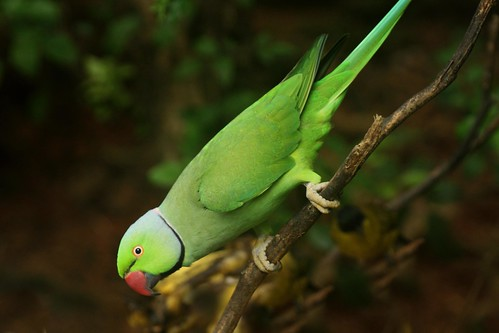 フリー画像| 動物写真| 鳥類| インコ科| ワカケホンセイインコ|       フリー素材|