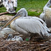 Pelican baby