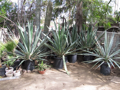 moorten agave pots