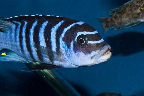 "Metriaclima sp ""zebra chilumba"" 'Katale Island'"