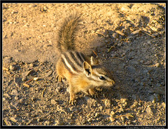 Chipmunk (Emma White ( ... somewhere ... )) Tags: park usa white animal landscape mammal photographer wildlife united emma 2006 chipmunk national yellowstonenationalpark yellowstone states np tamias striatus