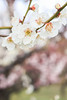 White plum blossoms (Yat Fai Ooi) Tags: white flower nature japan canon whiteflower spring bokeh blossoms plum osaka osakacastle plumblossoms 700d canon700d t5i canont5i
