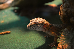 (ryountphotography) Tags: leopardgecko happyreptiles reptiles smiles thedoctor cute