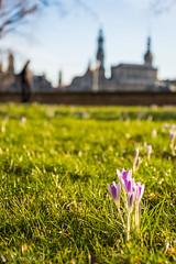 Sie sind da ... (Norbert Helbig) Tags: nikon d7200 germany deutschland sachsen dresden outdoor frühling spring wiese sonne jahreszeiten frühjahr frühblüher krokus krokusse