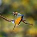 White-throated bee-eater (Merops albicollis) flexing a wing, Masai Mara, Kenya, East Africa