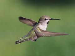 Costa's hummingbird.  Juvenile male (piranhabros) Tags: twist flying flight desert animal bird costashummingbird male costas juvenile hummingbird calyptecostae immaturemale