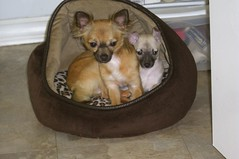 Cujo and Bella (cerberus_arstd) Tags: dog chihuahua cute dogs puppy puppies chihuahuas u cujo zuz