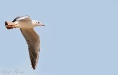 seagull (Still Alive ..) Tags: sea bird digital canon eos rebel hope fly flying still seagull gull away dreams alive kuwait chasing deam q8 xti 400d moiq8