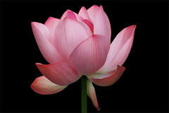 Pink_Flower:  IMG_4931 (Bahman Farzad) Tags: pink flower macro lotus lotusflower lotuspetal lotuspetals lotusflowerpetals lotusflowerpetal