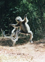 I feel good ...!!! (wallygrom) Tags: africa animals wildlife lemur lemurs madagascar lemurien sifaka verreauxssifaka amboasary kaletareserve dancinglemur sifakaverreauxiverreauxi dancingsifaka