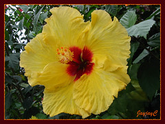 Hibiscus rosa-sinensis 'Eurilla Sunshine' at Cactus Valley in Cameron Highlands, July 2009