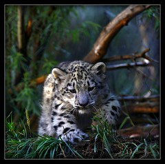 _MG_7572 (Ralston Images) Tags: baby animal cat canon feline wildlife panther snowleopard canon5dmkii jrphotography flickrbigcats photocontesttnc09 pantheraunciauncia jasonralstonphotography