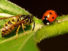 (acmelucky777 (so busy right now...)) Tags: macro nature animal animals closeup germany insect deutschland tiere foto natur insects panasonic