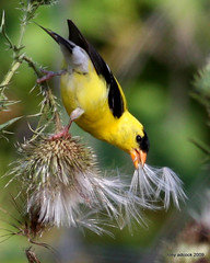 American Goldfinch (Carduelis tristis) (tonyadcockphotos) Tags: bird nature birds yellow thistle goldfinch birding seed down finch wildflower birdwatching avian americangoldfinch birdwatcher carduelistristis natureoutpost slbfeeding feedingonthistle