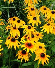 Blackeyed Susan (Bruce Shapka) Tags: flowers guelph blackeyedsusan enablinggardens