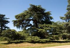 2009.08.23.035 Chteau de Ferrire - un cdre  - (alainmichot93) Tags: france nature 77 iledefrance parc seineetmarne cdre ferriresenbrie chteaudeferrires