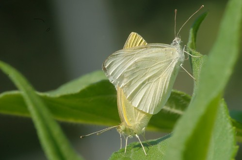 Pieris rapae | Klein koolwitje - Cabbage white