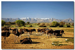 ostriches (cosmopolitan photography) Tags: snow mountains nature landscape ostriches oudtshoorn swartbergmountains cosmopolitanphotography