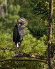 Grumpy Heron in a Tree (trilou) Tags: ontario tree bird grumpy greatblueheron rockwood iamcanadian pentaxk10d