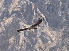 Andean Condor Soaring