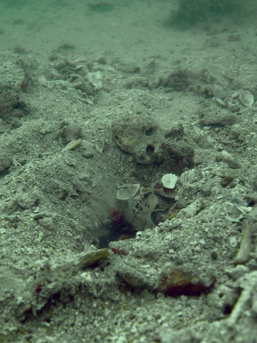 Goby and its burrow