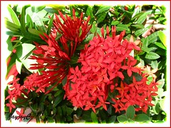 Glorious flower clusters of Ixora coccinea 'Dwarf Red'