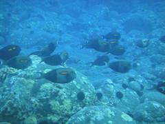 Orangeband Surgenfish