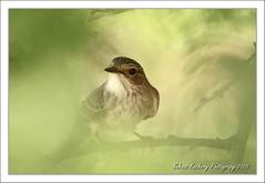 Spotted Fly Catcher (Muscicapa striata) (suhaaz Kechery) Tags: bird dk qatar birdwatcher muscicapastriata spottedflycatcher canon450d dohakoottam suhaaz