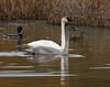 More Swans (Doug Lloyd) Tags: alaska swan cygnet trumpeterswan