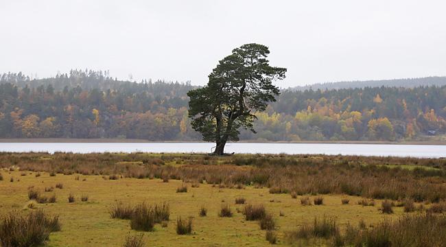 ensamträd