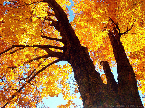 amber canopy