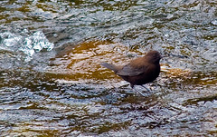 Asiatic Brown Dipper (aeschylus18917) Tags: bird nature japan river nikon wildlife aves  edit minakami gunma dipper 80400mm passeriformes  80400mmf4556dvr tonegawa gunmaken cinclus browndipper cincluspallasii toneriver gunmaprefecture  d700 cinclidae 80400mmf4556vr minakamimachi  danielruyle aeschylus18917 danruyle druyle   pallassdipper asiandipper asiaticdipper