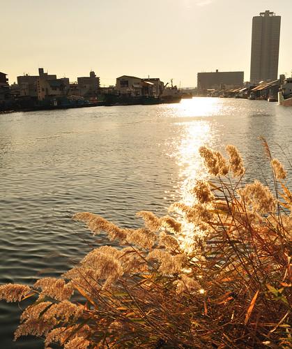 尻無川 Reed on the Shirinashi River