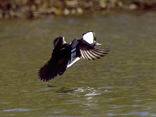 hooded merganser brighton flying