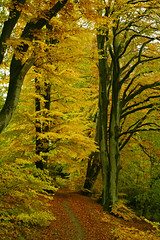 Rainy autumn day in the golden forest (Ingrid0804) Tags: wood autumn trees friends fall rain forest denmark rainyday path rainy beech yellowleaves naturesfinest coth mywinners platinumphoto theperfectphotographer lakefarum 100commentgroup saariysqualitypictures coth5